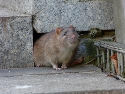 Watchful brown rat (Rattus norvegicus)