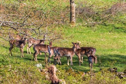Watchful herd with Fallow deers at spring