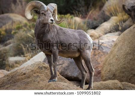 Watchful male (ram) big horn sheep