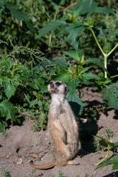 Watchful Meerkat standing on the dirt ground on a sunny day, looking upwards