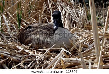 watchful nesting Canada goose