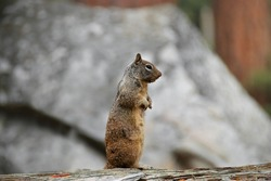 watchful squirrel standing on a wooden trunk in front of a stone