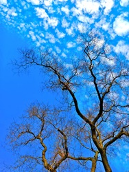 Watching small clouds on the sky through leafless trees during Winter. The color contrast is beautiful and relaxing. It seems the tree is touching the sky and dividing the clouds and deep blue part.
