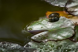 Water beetle Acilius sulcatus sits on leaves of water lily in garden pond. Acilius sulcatus is species of water beetle in family Dytiscidae. Selective focus
