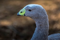 Water bird goose at a little lake in the wilderness of Australia at a hot and sunny day.