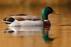 Water bird Mallard, Anas platyrhynchos, with reflection in the water.