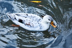 Water bird Swimming in the lake water