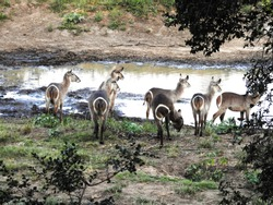 Water buck next to water hole.