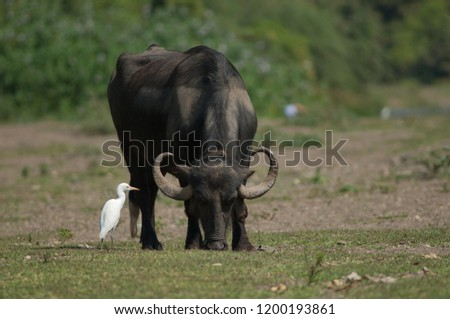 Water buffalo (Bubalus bubalis) grazing and cattle egret (Bubulcus ibis). Hiran river. Sasan Gir. Gujarat. India.
