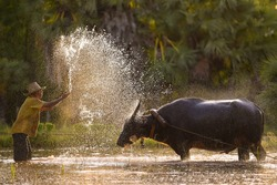 Water Buffalo,Crowd buffalo and farmer on during sunset,Domestic Water buffalo Local Thailand asian buffalo Bubalus bubalis