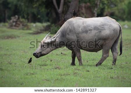 water buffalo eating grass in field.