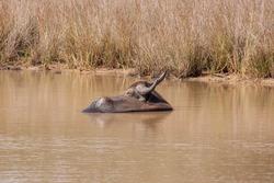 Water buffalo enjoying a bath