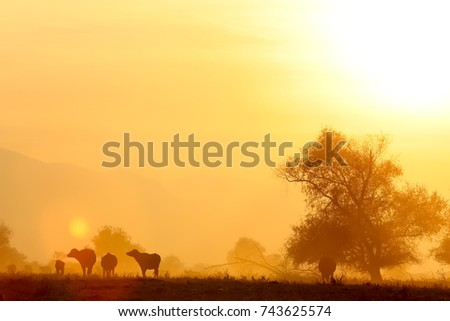 water buffalo grazing at sunset  next to the river Strymon in Northern Greece.  #743625574