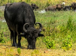 Water buffalo grazing in green pasture with other buffalo cooling off in water in background