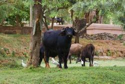 Water buffalo grazing in the old city. Anuradhapura, Sri Lanka