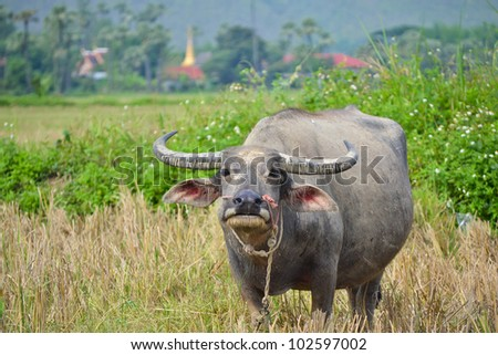 water buffalo in country field of northern thailand southeast asia