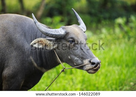 WATER BUFFALO: Portrait of a female water buffalo eating grass, Southern Vietnam