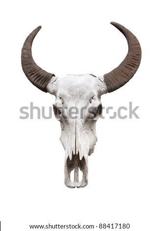 Water buffalo skull, isolated - stock photo