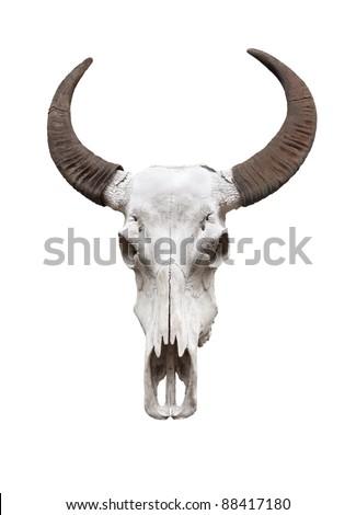 Water buffalo skull, isolated - stock photo