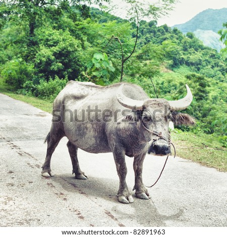 Water buffalo staing on the road and looking at camera
