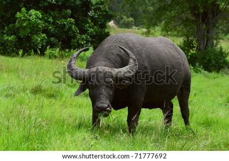 Water buffalo standing on green grass and looking to a camera