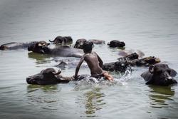 Water buffalo swimming in Ganga/India with young boy.