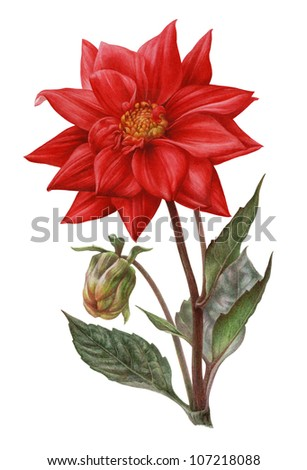 Water color illustration of Dahlia on white background