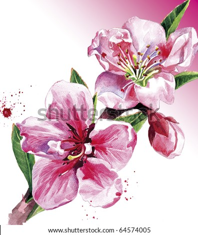 Water-colour illustration   of a spring peach blossom