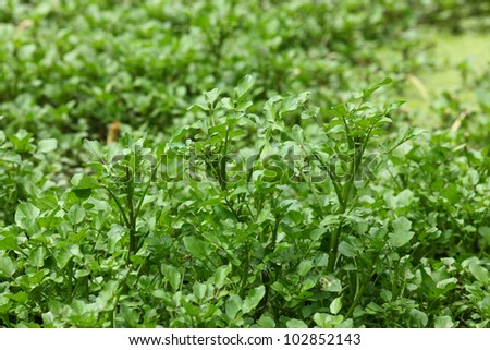 Water cress growing on pond