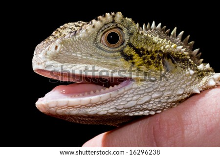 Water dragon being held with black background