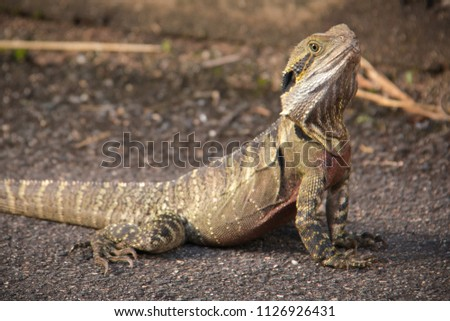 Water dragon lizard Australian wildlife reptile