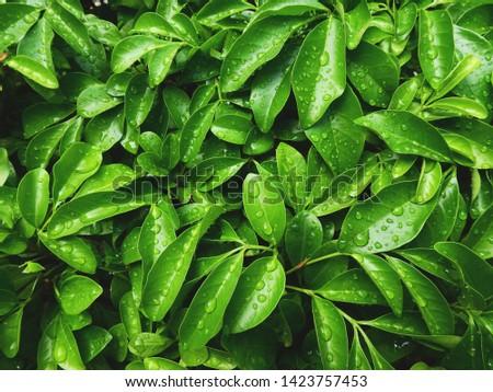 water drop of rain on green leaf of bush  #1423757453