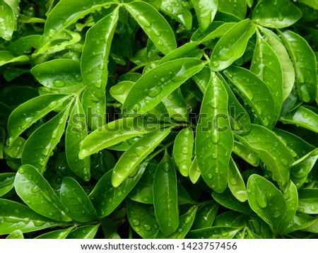 water drop of rain on green leaf of bush  #1423757456