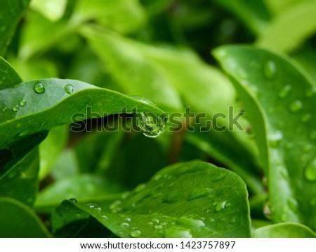 water drop of rain on green leaf of bush  #1423757897