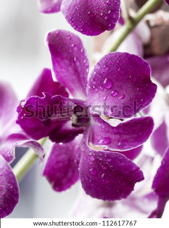 water drop on beautiful purple orchid after rain