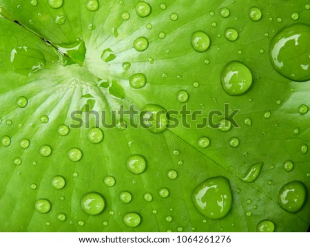water drop on green lotus leaf