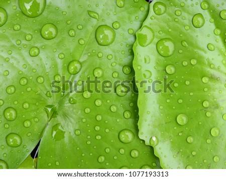 water drop on green lotus leaf #1077193313