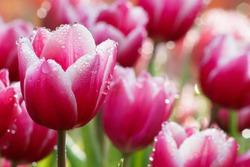 Water drop on pink tulip's