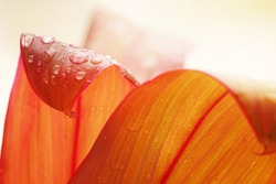 Water drop on red leaf on blurred background , selective focus beautiful   nature for background.