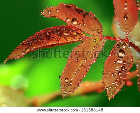 Water Droplet on Rose leaf