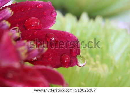 Water Droplet with Reflection on Red Flower - Macro photograph of water droplets on red flower petals, with a green flower and vase reflected in the water. Selective focus on water droplets.