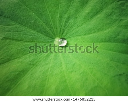 Water droplets on Lotus leaf