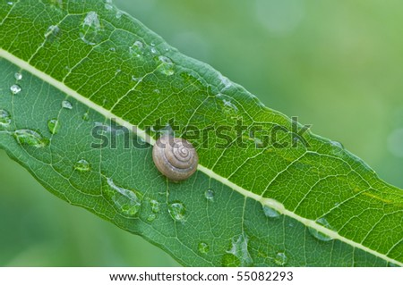 water drops and snail on leaf (shallow depth of field)