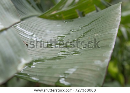 Water drops are on top of banana leaves. soft foreground foreground and background #727368088