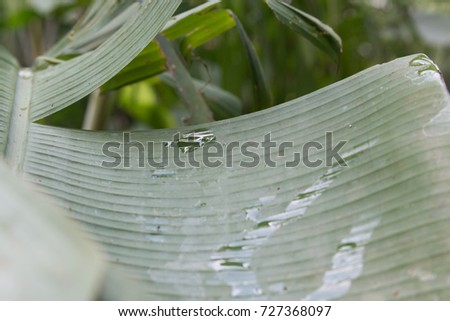 Water drops are on top of banana leaves. soft foreground foreground and background #727368097