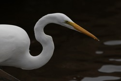 Water drops bead and fall from yellow beak of Great Egret in closeup against black background at Rockefeller Refuge in Louisiana, United States, winter, October,