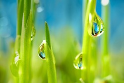 water drops of dew on young sprouts of wheat super macro