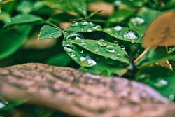 Water drops on a green leaf after a rain storm