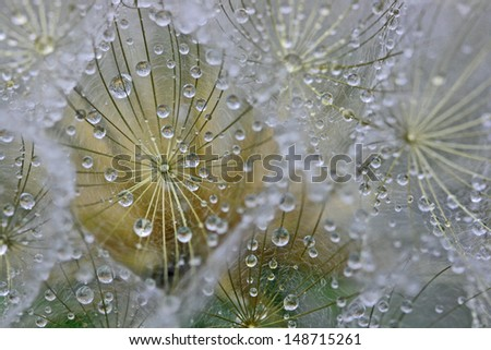 Water drops on dandelion