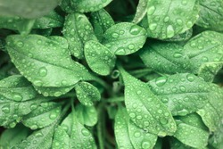 Water drops on green leaves. Close up. Dew after rain